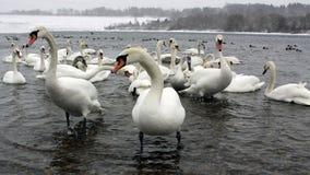 Grupo de cisnes en el río el invierno, buscando la comida Fotos de archivo libres de regalías