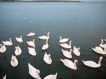 grupo de cisnes mudos blancos abajo abajo en el backgr animal del pájaro del agua Imagen de archivo libre de regalías