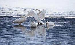 Grupo de cisnes na luz da noite Fotos de Stock