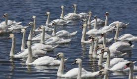 Grupo de cisnes que nadam Imagem de Stock Royalty Free