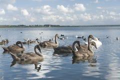 Grupo de cisnes y de patos Fotografía de archivo