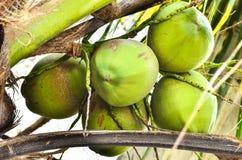 Grupo de coco joven Fotos de archivo