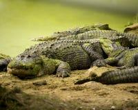 Grupo de cocodrilos Imagen de archivo libre de regalías