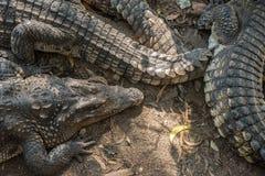 Grupo de cocodrilos del agua salada Imagen de archivo