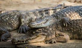 Grupo de cocodrilos del agua salada Fotografía de archivo