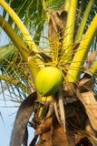 Grupo de cocos novos na árvore Fotos de Stock