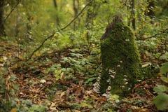 Grupo de cogumelo bonito em um musgo da floresta em um coto Imagem de Stock