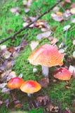 Grupo de cogumelos do agaric de mosca Fotografia de Stock