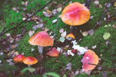 Grupo de cogumelos do agaric de mosca Foto de Stock Royalty Free