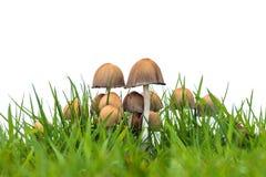 Grupo de cogumelos do psathyrella na grama fresca Foto de Stock Royalty Free