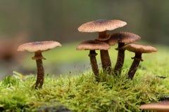 Grupo de cogumelos marrons Imagens de Stock Royalty Free