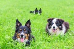 Grupo de collies de beira que encontram-se na grama verde Foto de Stock Royalty Free