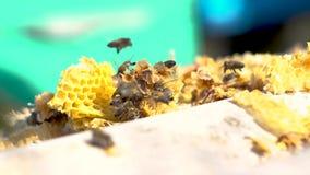 Grupo de colonia de las abejas en colmena de la abeja almacen de video