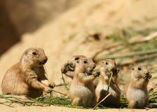 Grupo de comer dos cães de pradaria do bebê Fotos de Stock Royalty Free