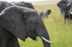 Grupo de comer dos elefantes Fotos de Stock Royalty Free