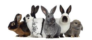 Grupo de conejos, aislado fotografía de archivo libre de regalías