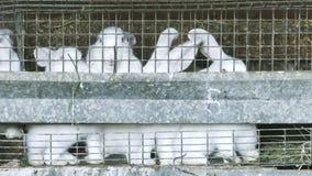 Grupo de conejos blancos en la jaula almacen de video