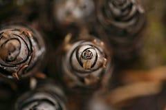 Grupo de cones do pinho Imagem de Stock Royalty Free