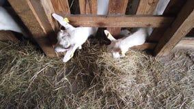 Grupo de corderos que comen el heno en un establo Visi?n desde arriba almacen de metraje de vídeo