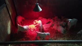 Grupo de corderos recién nacidos calentados por una lámpara infrarroja en una caja Luz roja en blanco puro Corderos que se lamen almacen de video