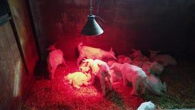 Grupo de corderos reci?n nacidos calentados por una l?mpara infrarroja en una caja Luz roja en blanco puro Corderos que se lamen metrajes
