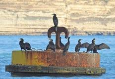Grupo de cormorões em uma boia Foto de Stock