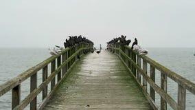 Grupo de cormorão que descansa na ponte do passeio na cidade Sassnitz do mar Báltico Ilha de Rugen, Alemanha vídeos de arquivo