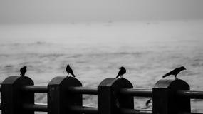 Grupo de corvos Fotografia de Stock Royalty Free