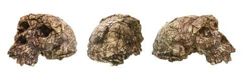 Grupo de crânio Toumai do tchadensis de Sahelanthropus Descoberto em 2001 no deserto de Djurab em Chade do norte, África central  Imagem de Stock