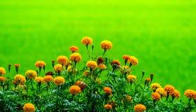 Grupo de crecer de flores de la maravilla en la granja orgánica y el campo verde hermoso en el campo de Tailandia foto de archivo