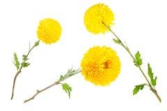 Grupo de crisântemos amarelos brilhantes isolados no fundo branco Imagem de Stock Royalty Free