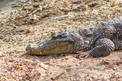 Grupo de crocodilos ou de jacarés ferozes que tomam sol no sol Imagem de Stock Royalty Free