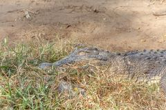 Grupo de crocodilos ou de jacarés ferozes que tomam sol no sol Fotos de Stock Royalty Free
