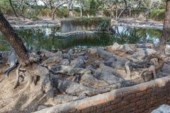 Grupo de crocodilos ou de jacarés ferozes que tomam sol no sol Imagens de Stock Royalty Free