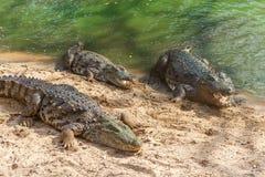 Grupo de crocodilos ou de jacarés ferozes que tomam sol no sol Imagem de Stock