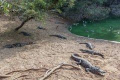 Grupo de crocodilos ou de jacarés ferozes que tomam sol no sol Fotografia de Stock