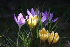 Grupo de crocusses en primavera imágenes de archivo libres de regalías