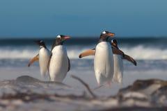Grupo de cuatro pingüinos de Gentoo (Pygoscelis Papua) en la playa Fotografía de archivo libre de regalías