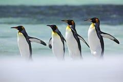Grupo de cuatro pingüinos de rey, patagonicus del Aptenodytes, yendo de la nieve blanca al mar, Falkland Islands Imagenes de archivo