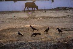 Grupo de cuervo y de becerro que toman el desayuno por la mañana Fotos de archivo