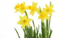 Grupo de daffodils amarelos da mola Fotografia de Stock