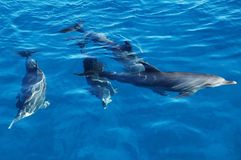 Grupo de delfínes en el mar foto de archivo