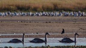 Grupo de deriva de 5 novatos del cisne pasajera en un canal de un estuario en Escocia por la tarde durante noviembre almacen de metraje de vídeo