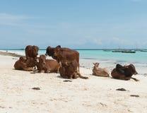 Grupo de descansar vacas marrons africanas na praia arenosa de Zanzibar imagens de stock royalty free