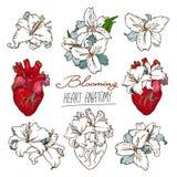 Grupo de desenhos do coração humano anatômico estilizado e dos lírios brancos ilustração stock
