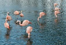 Grupo de diez flamencos rosados fotos de archivo libres de regalías