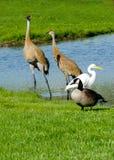Grupo de diversos pájaros que comparten una charca Foto de archivo libre de regalías
