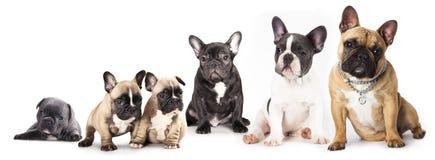 Grupo de dogos franceses Fotografía de archivo libre de regalías