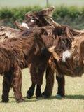 Grupo de Donkies fotografia de stock