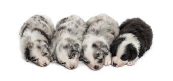 Grupo de dormir de los perritos del híbrido aislado en blanco Fotos de archivo libres de regalías